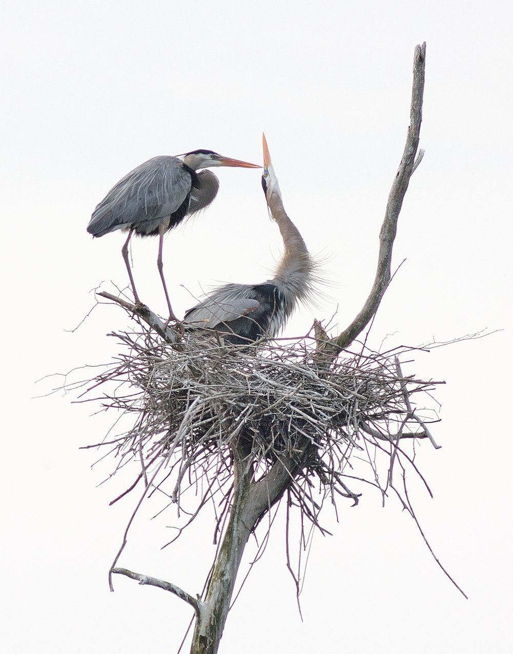 Great Blue Herons photographed by John Cebula