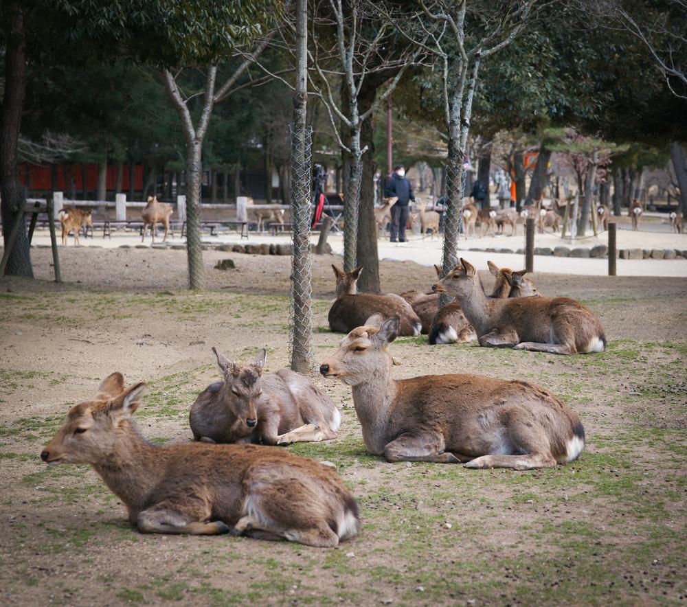 deer, just relaxing