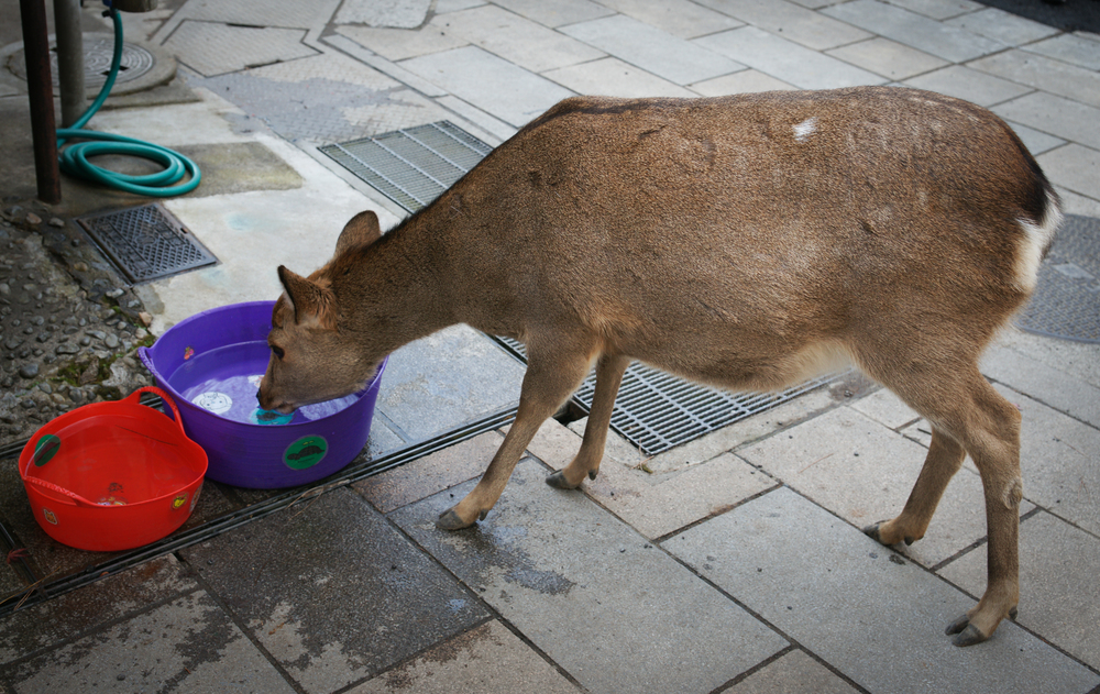 Shops leave buckets of water out for the deer