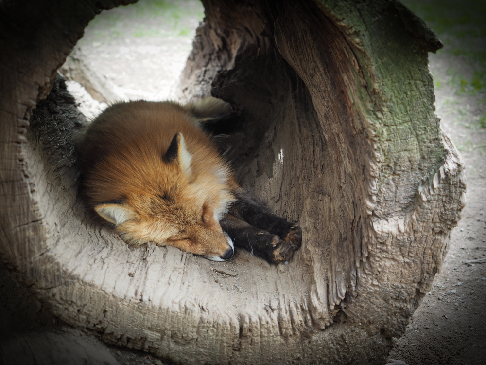 lazy foxes