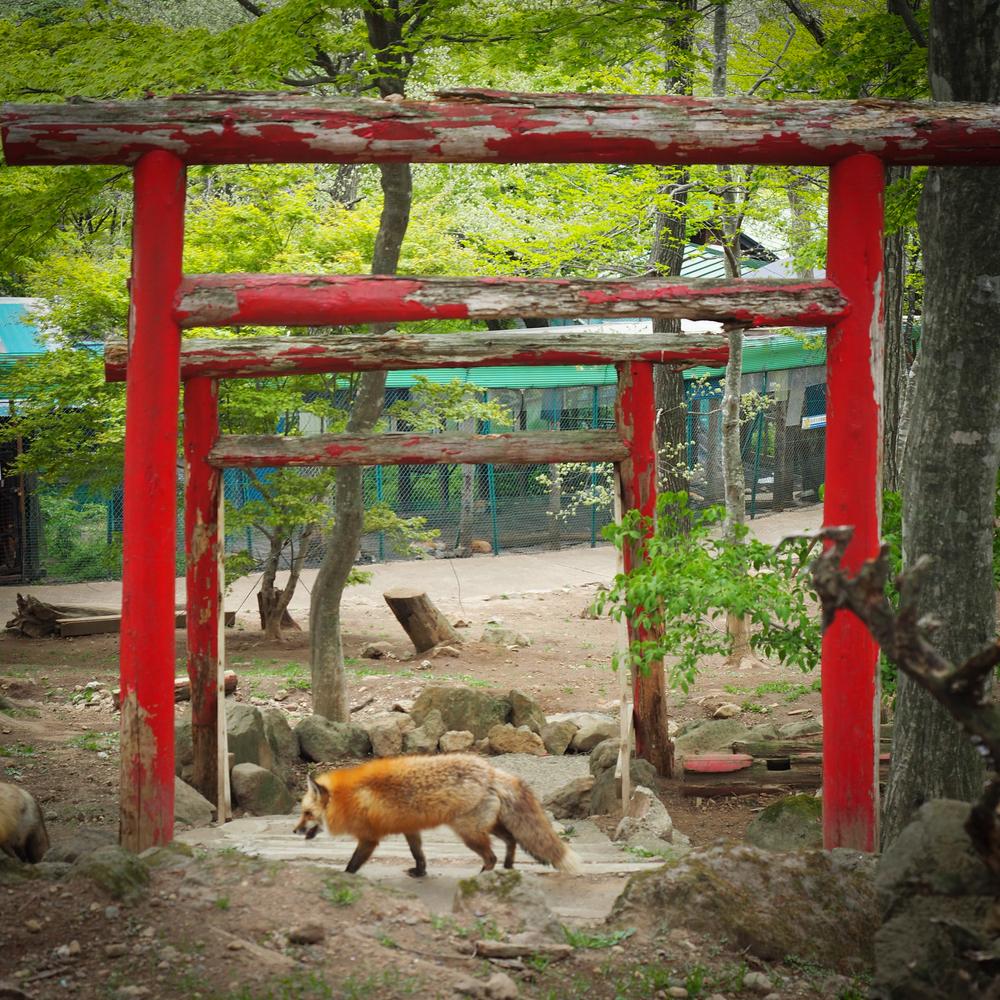 Fox passing by the Torii Gates to Fox Shrine