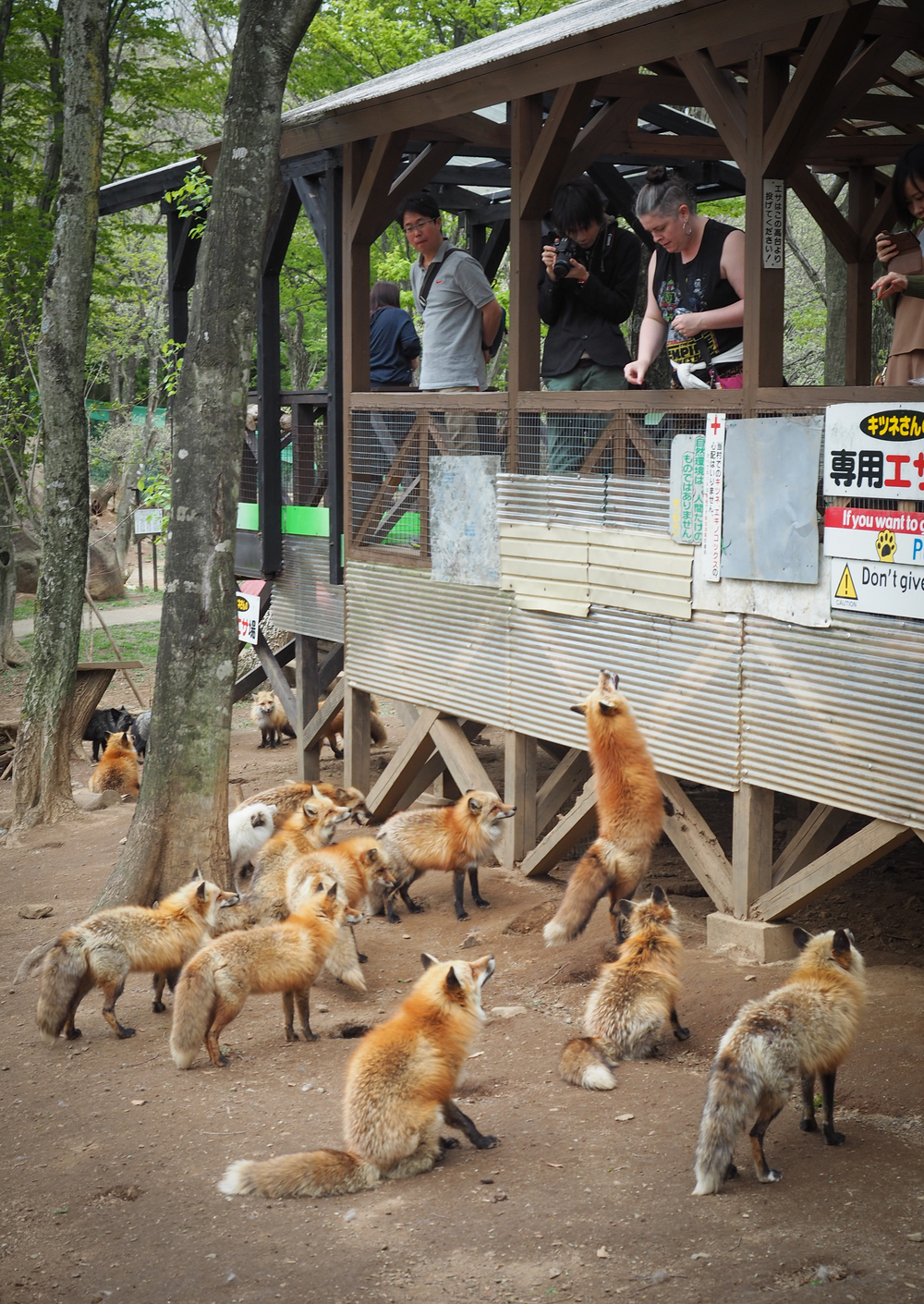 I'm feeding the foxes, I want to be friends.