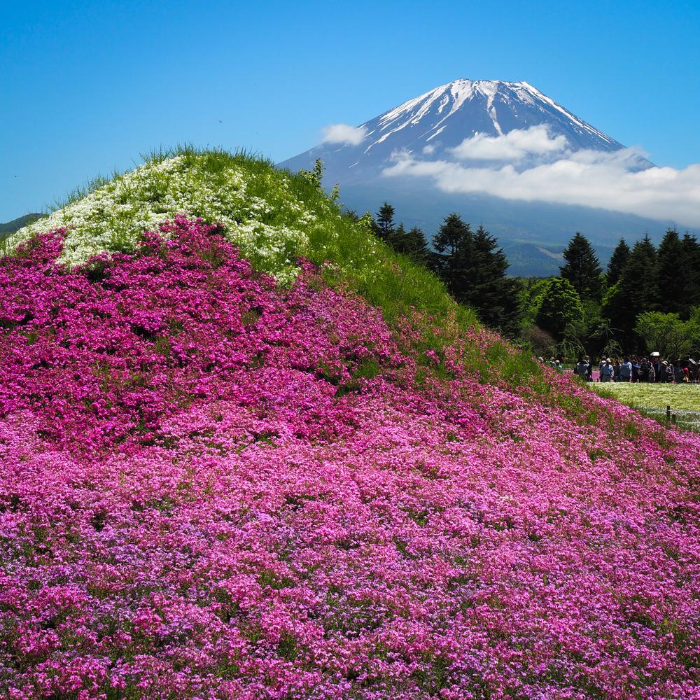 a moss phlox covered representation of Mt. Fuji in front of Mt. Fuji