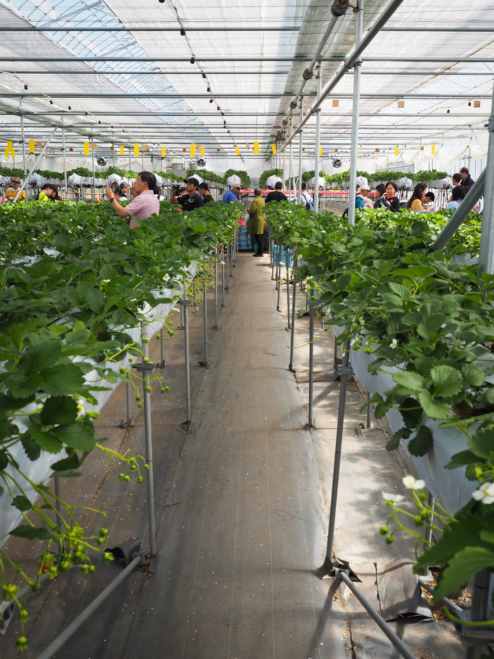 Inside the strawberry greenhouse