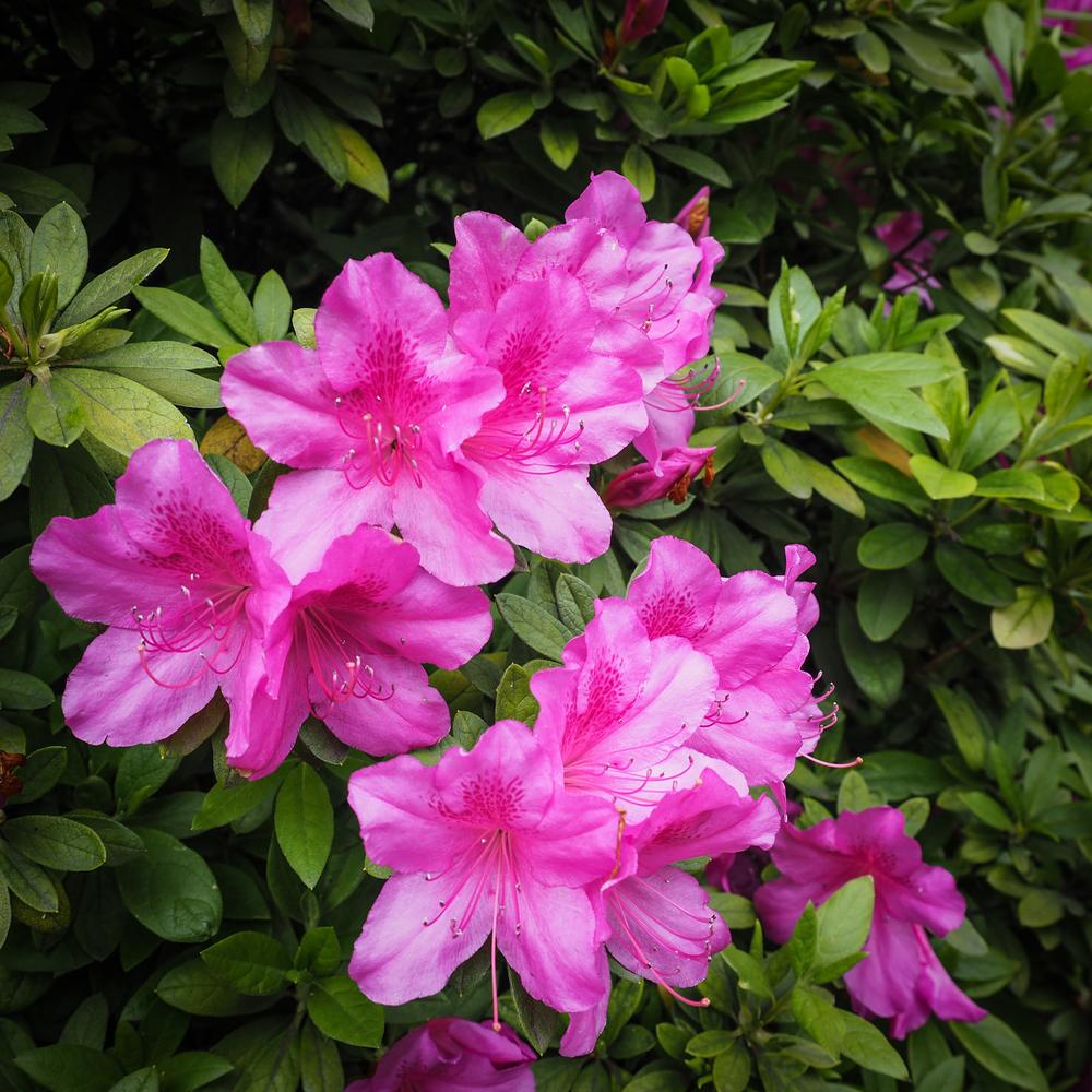 Bright Pink Azaleas