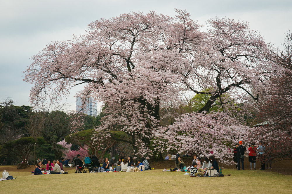 Hanami under the giant Cherry Blossom Tree in Shinjuku Park