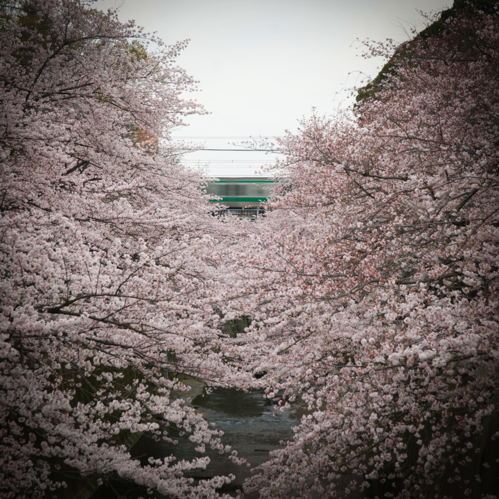 a speeding train through the Cherry Blossoms