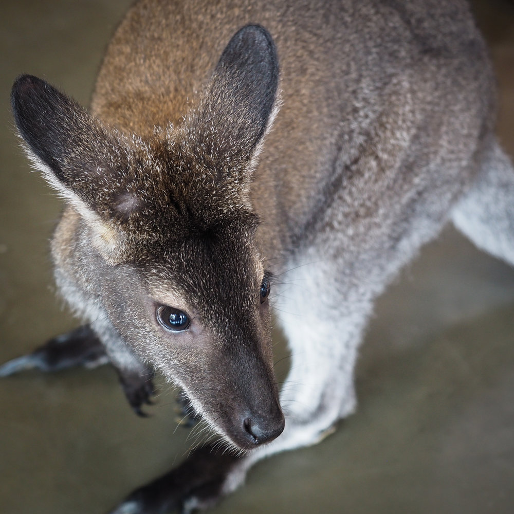 a Wallaby!