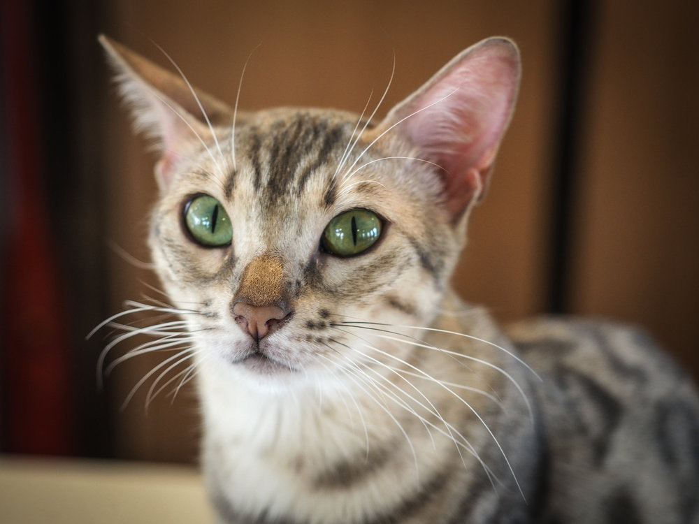 Such a beautiful cat--those eyes!