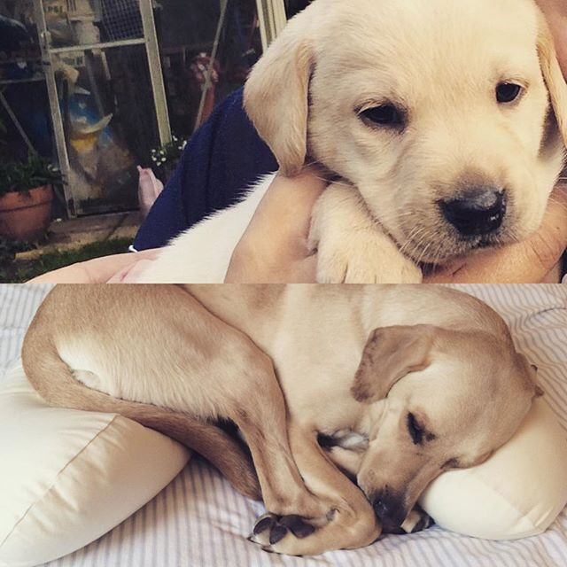 Two years of Buck #labrador #labradorretriever #labradors_  #labrater_feature #labrater