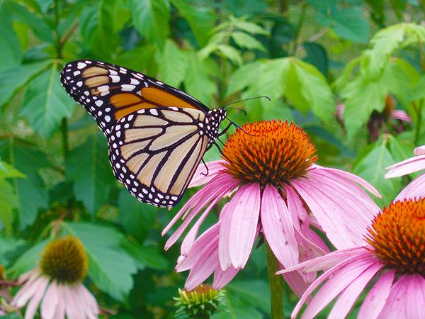 monarch-on-coneflowers-1-1388220.jpg