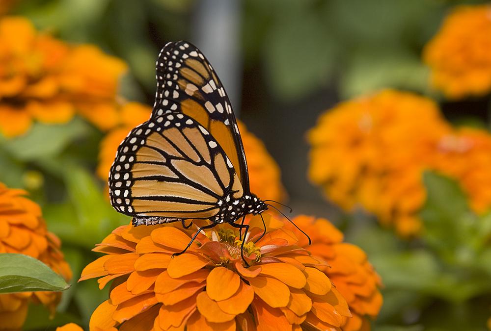 monarch-and-zinnia-1341236.jpg