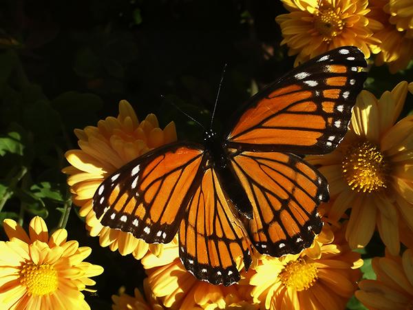 monarch-on-mums-1513128.jpg