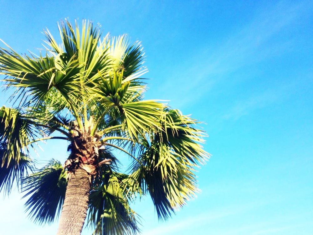 california palm tree blue sky