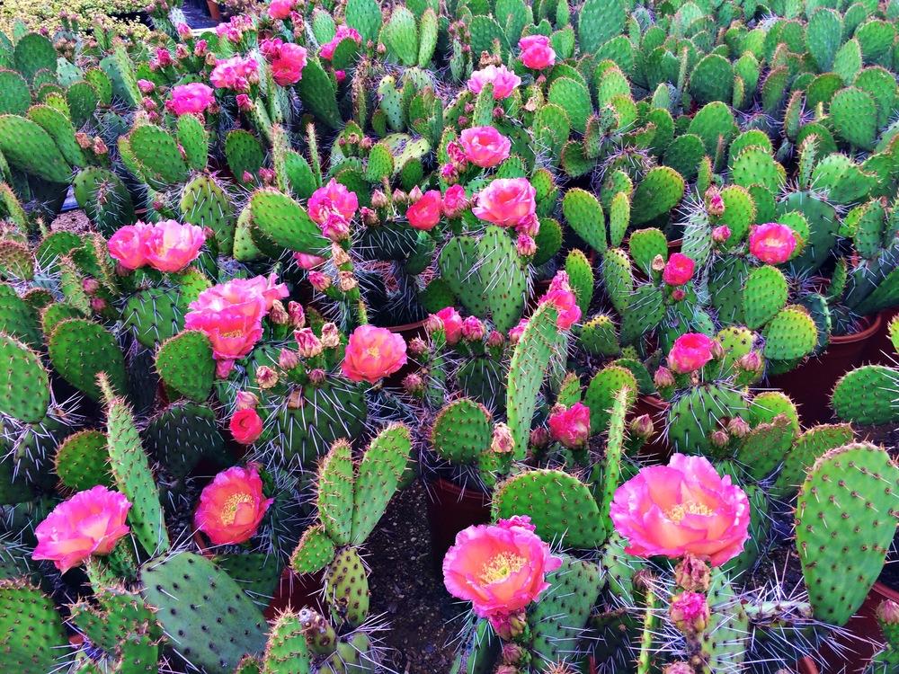 San Diego blooming cacti