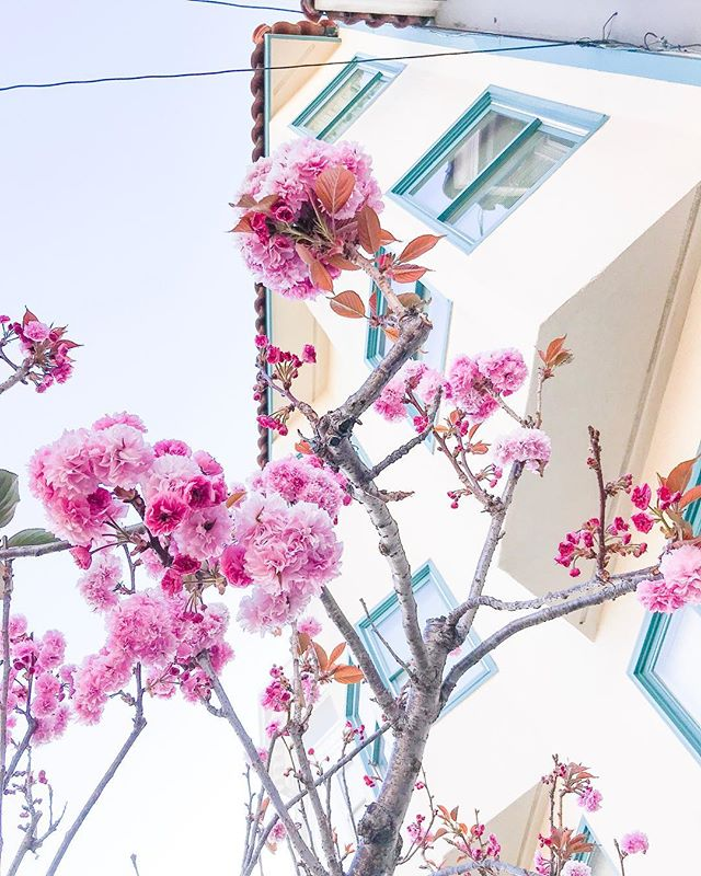 There's still little pieces of spring around! 🌸 #sanfrancisco #exploresf #limitlesssanfrancisco #ggflorals #takeawalk #mytinyatlas