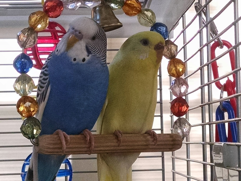Now can you understand why I would be thinking about my baby budgies? Meet Cielo (aka Ceelo Blue) and Maizie (aka Lazy Maizie).