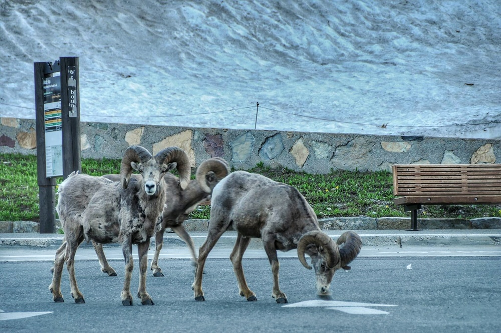These guys decided to pay us a visit one evening at the top of Logan Pass