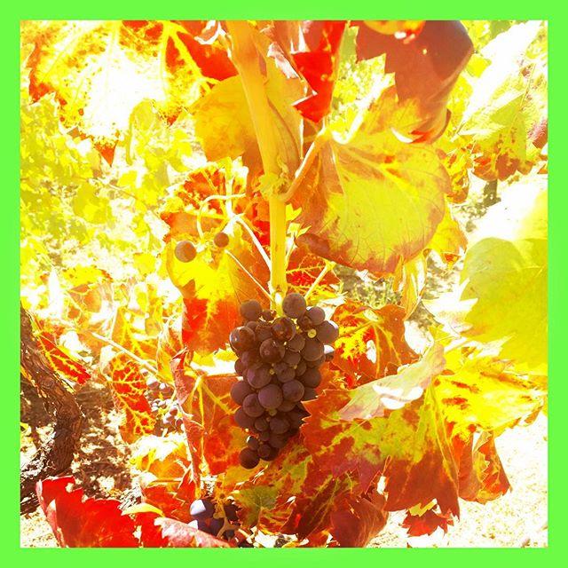 #davinewinetours #drycreek #sonomawinecountry #healdsburg #wineroad #winetasting #grapes🍇 #harvest2016 coming up real soon!