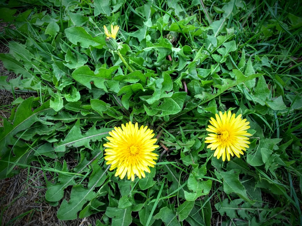 One great way to get rid of weeds in your yard? Eat them!