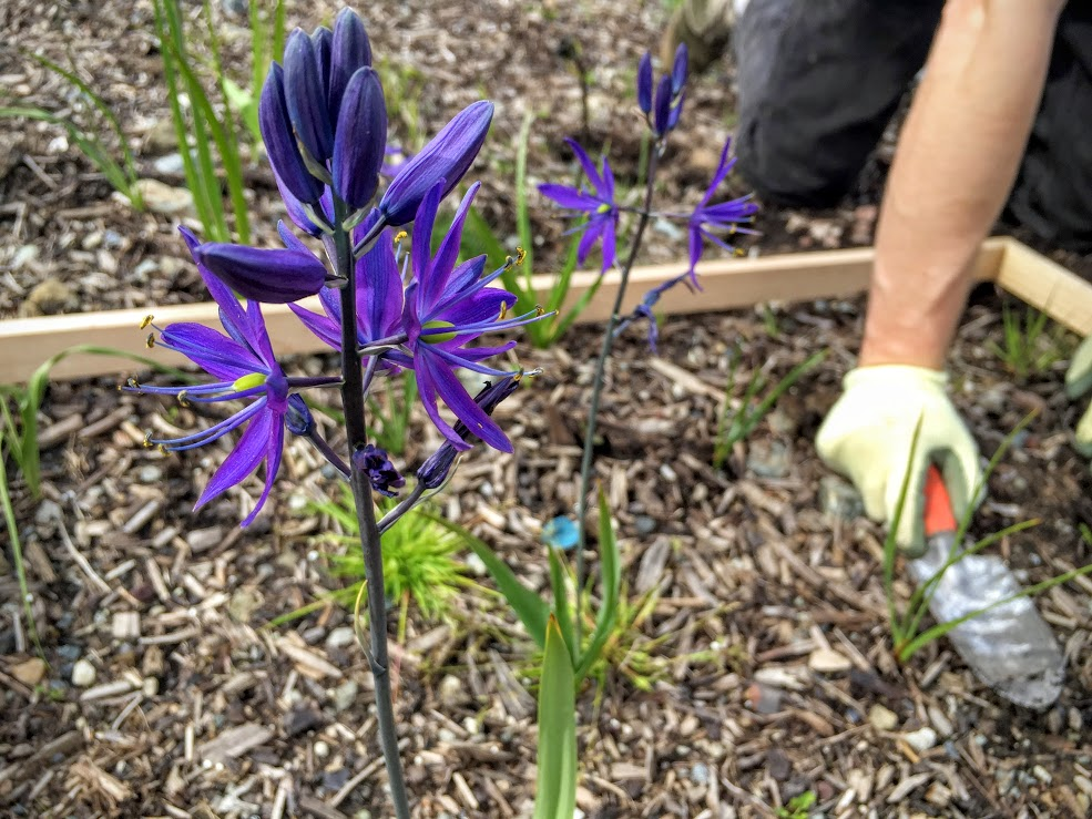 Save the native flowers, like this camas!