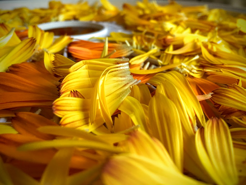 Calendula petals drying in my dehydrator.