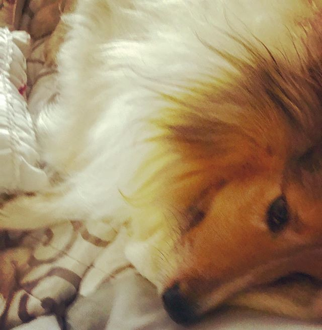 Baby it's cold outside. . . .  #snuggle #rain in #california #grateful #dog #dogs #sheltie #bestfriend #bff #love #miamor #rollover #shetlandsheepdog #perro #mascot #feliz #felizesfeliz #winelife #wine #winelover #winemaker #malbec #instagood #dogsofinstagram #instadog #dogsofinstagram #instawine #winecountry #cheers #salud