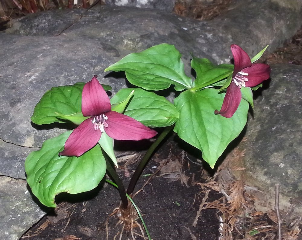 Ah, yes, the Red Trillium. Some call it the Wake Robin as it's blooming coincides with the return of Robins in great numbers. This plant often takes nearly ten year to mature before it flowers. Occasionally living in excess of 30 years, spending time with a clump of these plants growing in the city gives me so much hope for the return of woodlands back into our urban areas.