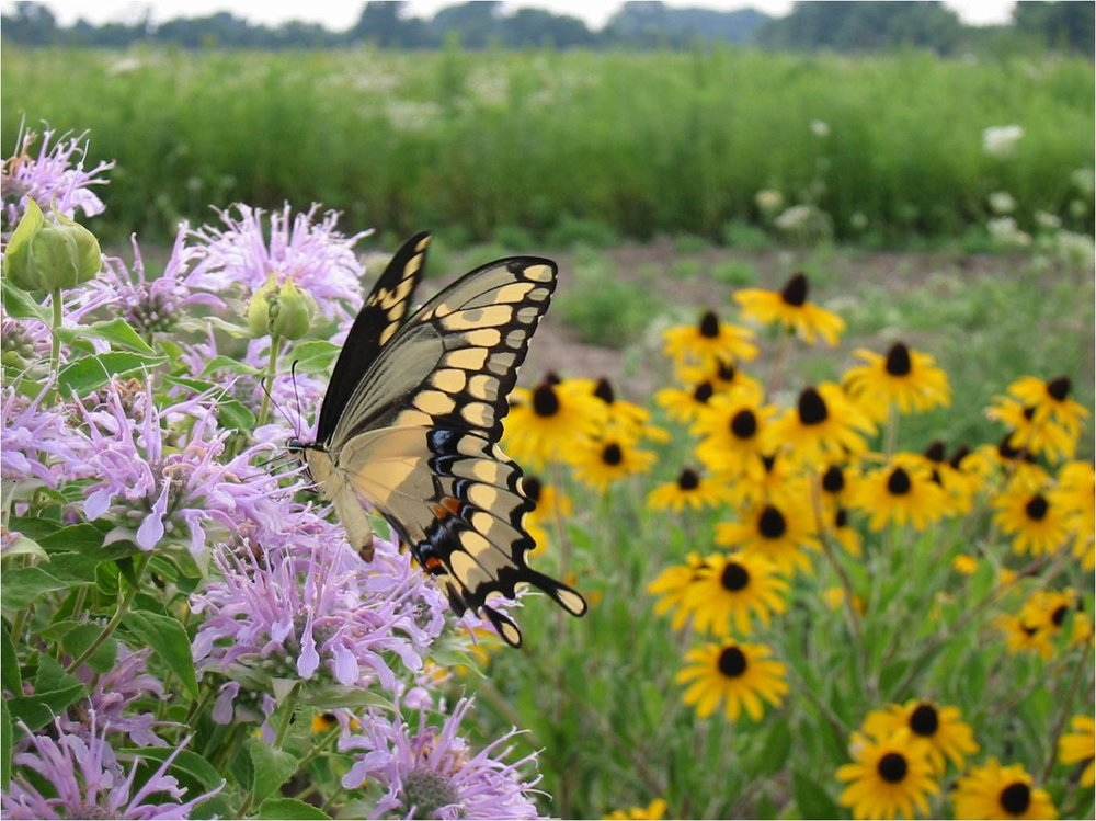 Giant Swallowtail on a Wild Bergamot Flower with Orange Coneflower in the background. Prairies and meadows are magical places, painting nature's palette with all the colours of the rainbow.