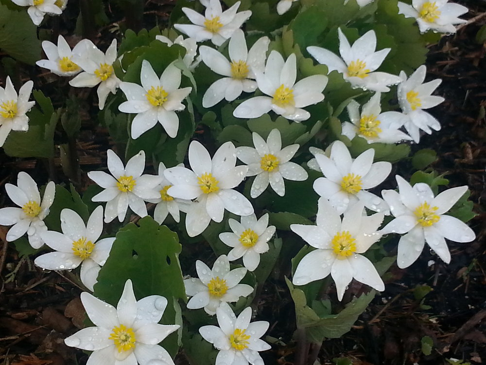 Every yard in the city should have a few dozen of these early spring beauties; Blood Root - the staple plant of the shaded eastern woodland.