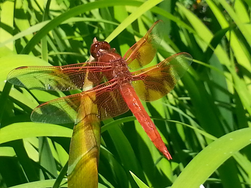 With a little sun, water and adjacent habitat, a number of skimmer (dragonflies) species will frequent your yard (this one is a southern species).