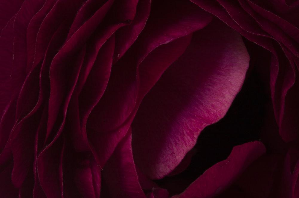Red Ranunculus.jpg
