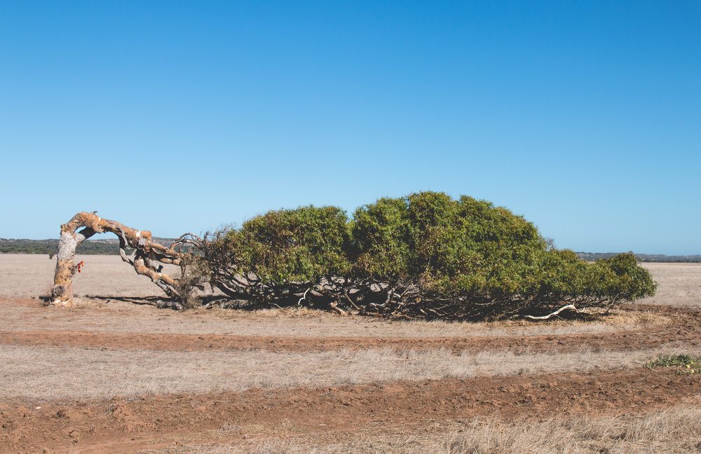 Leaning Trees Greenough, W.A, March 2018