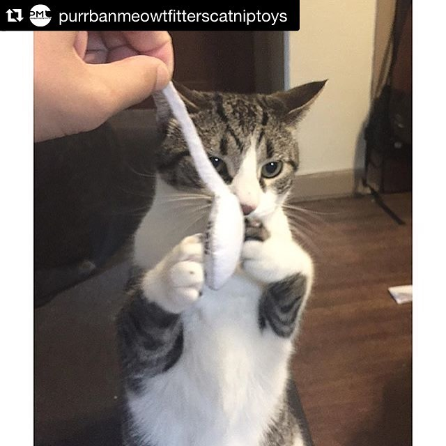 #Repost @purrbanmeowtfitterscatniptoys (via @repostapp) ・・・ Looks like someone picked up one of our catnip sperm, thanks @amethystsunset for sharing! All proceeds from those toys goes directly to help @prochoicecats & @classycatincolumbus do great things, pick up one at @whollycraft in Columbus Ohio or through our web store for just $5 now! #cats #catsofinstagram #cat #catstagram #instacat #catnip #cattoy #pettoy #catniptoy #petstagram #pets #petsofinstagram