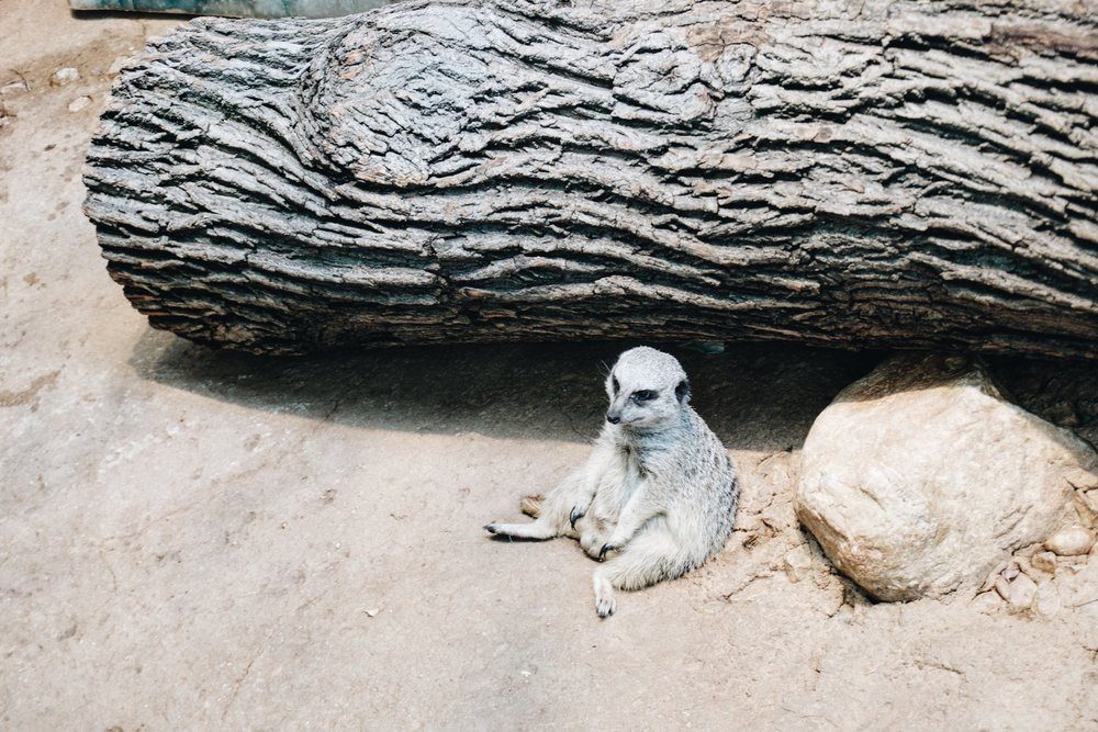 Whew - that was a long one. I'm a bit tuckered out - just like this adorable meerkat that was just chillin' at the zoo. If only I could sit around like this little fella' all day long.