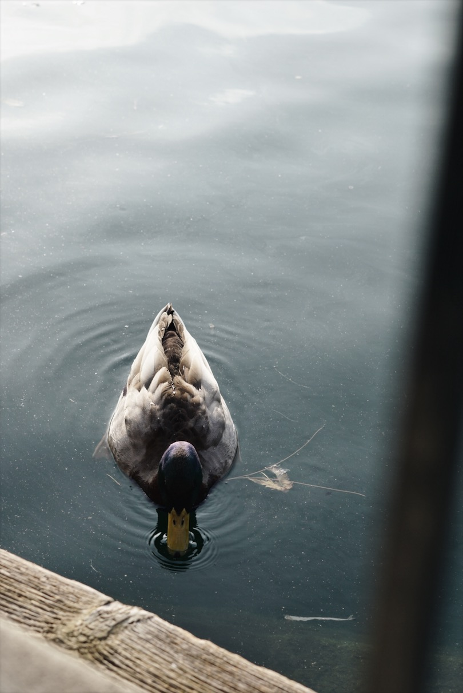 Disneyland-Duck
