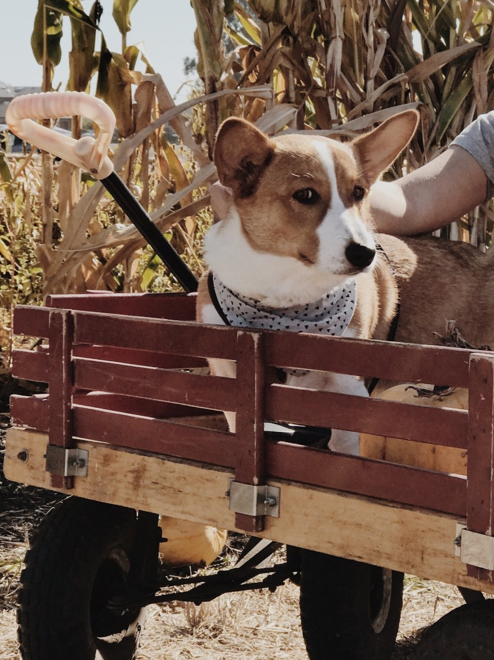 Pumpkin Patch Bay Area Farmer John's Dog Friendly Corgi Ollieforshort