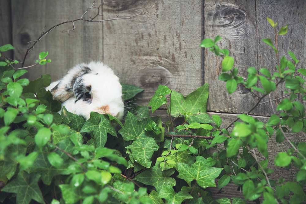 Leia the rabbit in the backyard // Ashley Petersen Photography