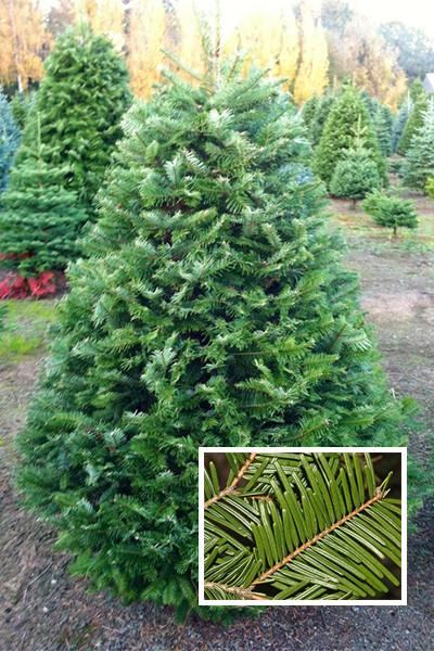 768827cd6bc Trees — Whistler Christmas Dream
