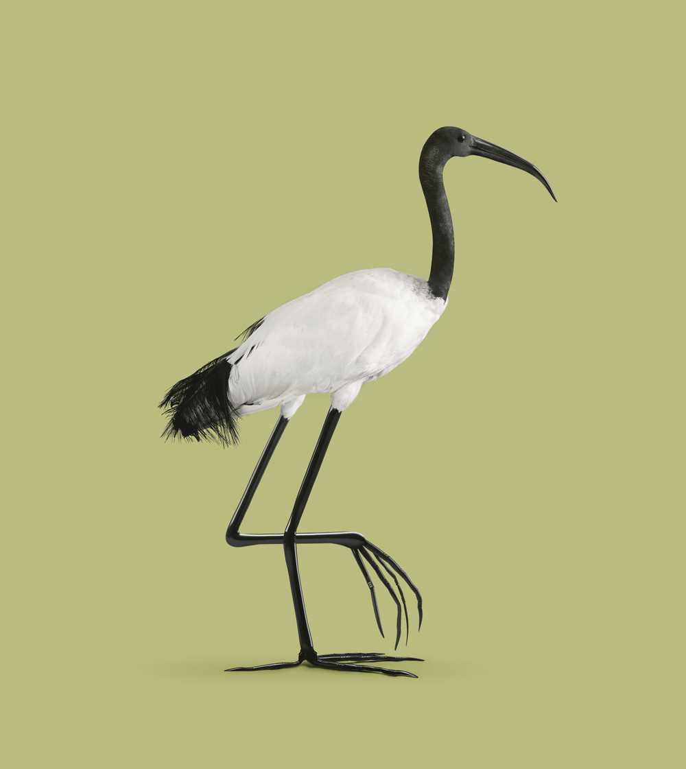 朱鷺[Ibis temperatio]    120 x 108  厘米