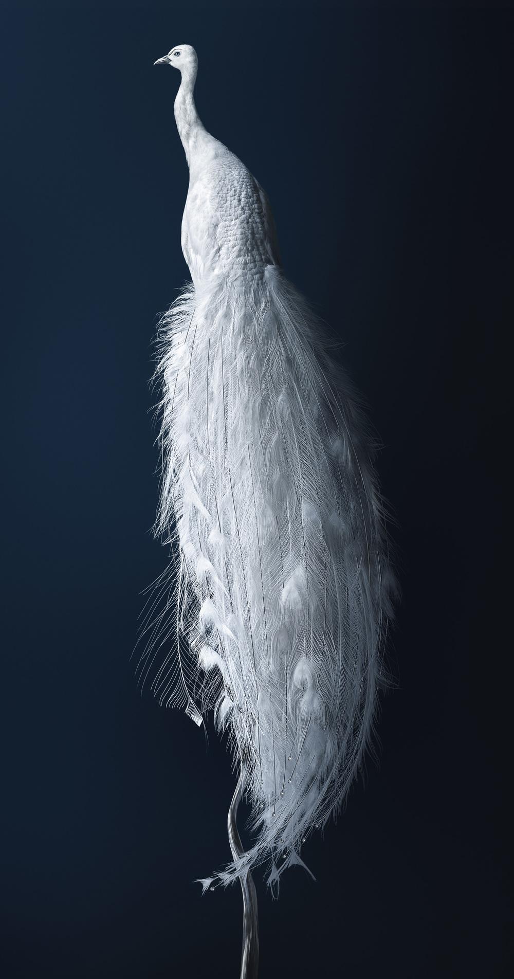 孔雀 [Pavo exosceletus] 125 x 66.5 厘米
