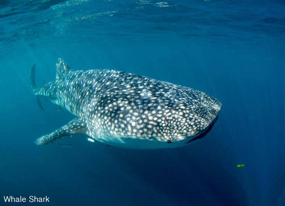 Copy of Whale Shark