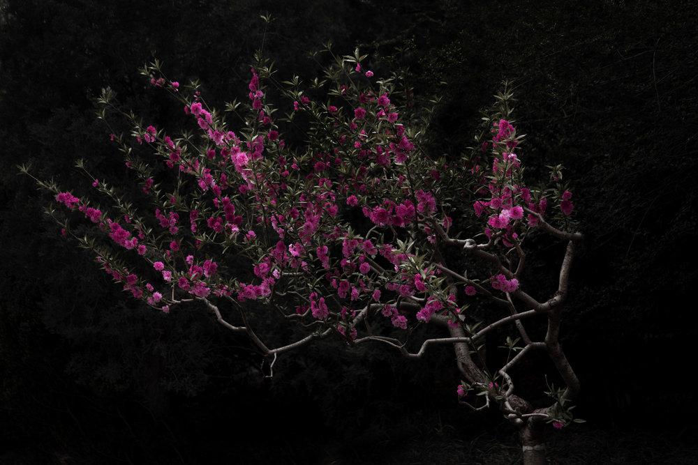 Shen Wei, Peach Tree, 30x50cm, ed. 5