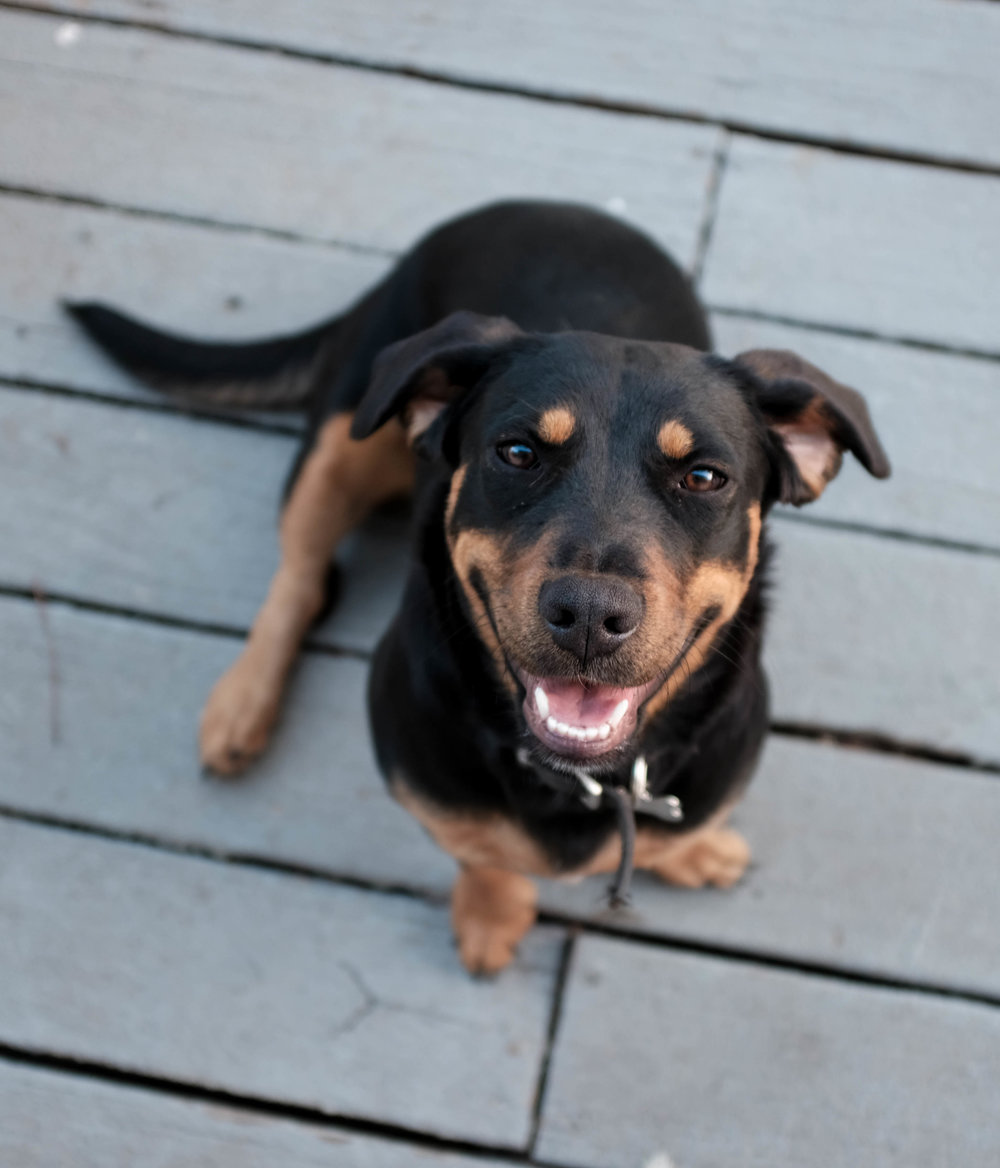 Emmy, a Rottweiler mix cutie with short little legs. Found emaciated on someone's doorstep.