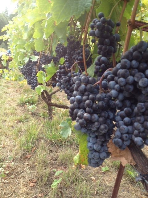 Nearly ripe grapes, prior to harvest.