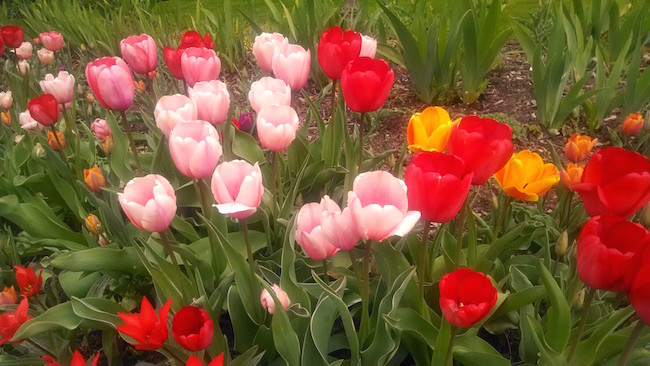 rochester-tulips