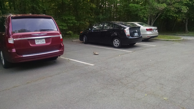 turtle-in-parking-spot