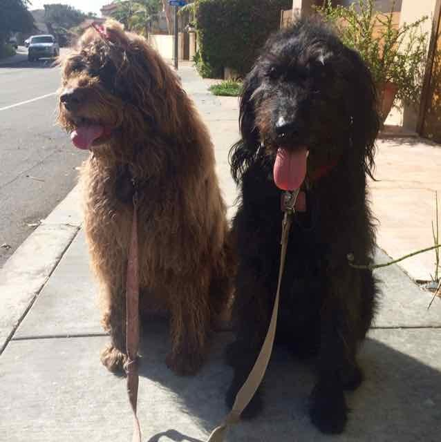 Dotty and Teddy gentle leader .jpg