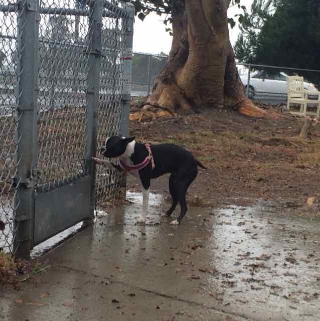 zen dog rosie fence.jpg