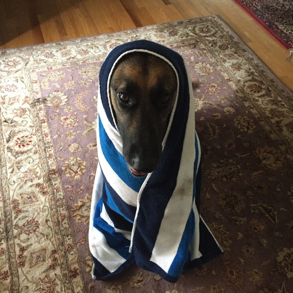Jake loves being wrapped up in a warm fresh towel after a refreshing walk!